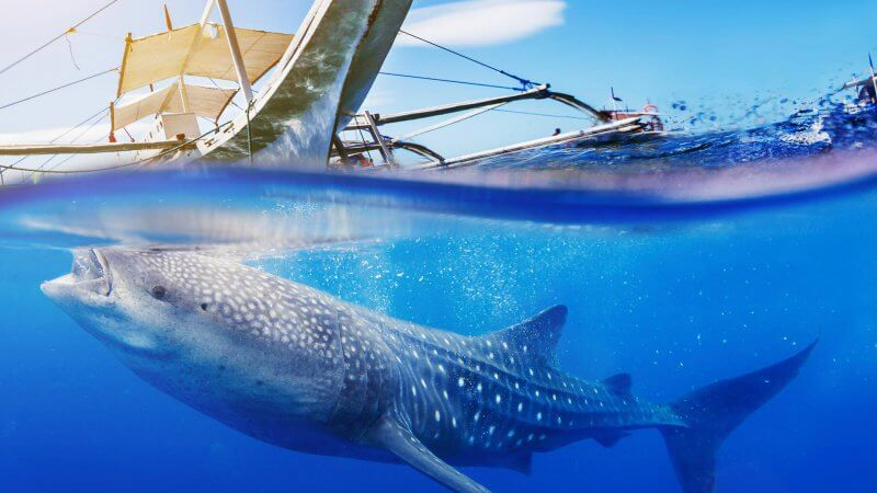 Gigantic whale shark with boat
