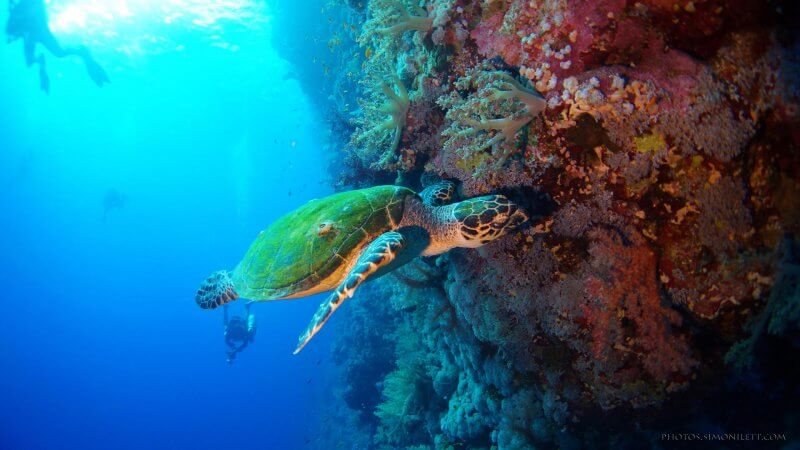Hawksbill Sea Turtle At Phi Phi Islands Thailand